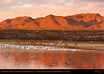 Crane Pool at Sunrise, Snow Geese and Sandhill Cranes, Chupadera Mountains, Bosque del Apache National Wildlife Refuge, New Mexico