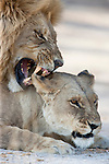 Botswana, Okavango Delta, Moremi; lions mating