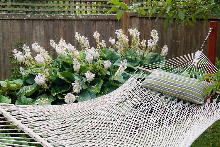 Hammock inviting spot to relax outside in the garden, with privacy wooden fence and huge big hosta plant in flower in summer in backyard