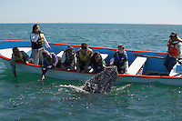 pr5376-D. Gray Whale (Eschrichtius robustus), curious calf approaches boat to accept gentle human touch. San Ignacio Lagoon, Baja, Mexico..Photo Copyright © Brandon Cole. All rights reserved worldwide.  www.brandoncole.com..This photo is NOT free. It is NOT in the public domain. This photo is a Copyrighted Work, registered with the US Copyright Office. .Rights to reproduction of photograph granted only upon payment in full of agreed upon licensing fee. Any use of this photo prior to such payment is an infringement of copyright and punishable by fines up to  $150,000 USD...Brandon Cole.MARINE PHOTOGRAPHY.http://www.brandoncole.com.email: brandoncole@msn.com.4917 N. Boeing Rd..Spokane Valley, WA  99206  USA.tel: 509-535-3489