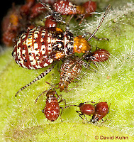 "1111-0807  Scentless Plant Bug Nymphs of Various Instars, Niesthrea louisianica ""Lifecycle"" © David Kuhn/Dwight Kuhn Photography."