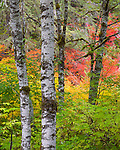 Mount Baker-Snoqualmie National Forest, WA; Red alder (Alnus rubra) trunks with fall colors of vine maples (acer circinatum) in the background