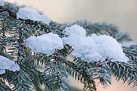 Fichte, Fichtenzweig im Winter mit Reif, Raureif, Gewöhnliche Fichte, Rot-Fichte, Rotfichte, Picea abies, Common Spruce, Norway spruce, hoarfrost, hoar frost, L'Épicéa, Épicéa commun