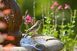 Female lesser goldfinch, Carduelis psaltria. On a backyard fountain in the Santa Cruz Mountains, California