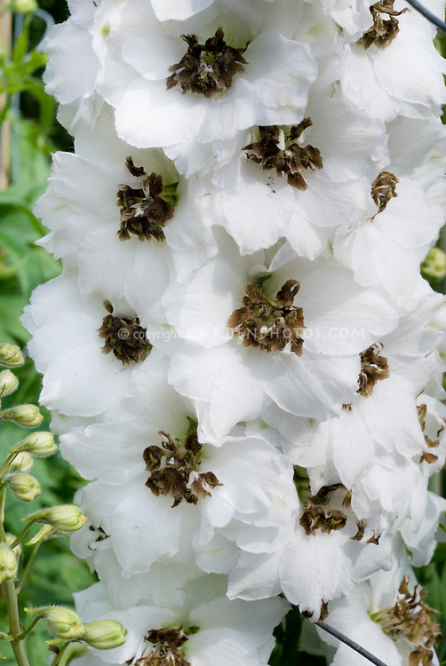 Delphinium 'Black Eyed Angels' white with black eyes, Millenium Series, white blooming summer perennial flowers