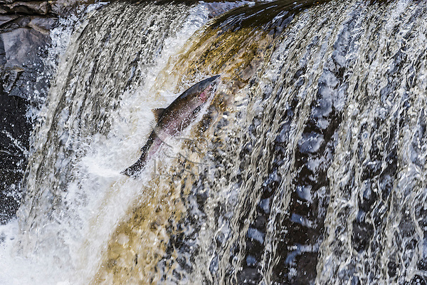 Coho or silver salmon (Oncorhynchus kisutch) during fall spawning migration trying to jump waterfall.  Pacific Northwest.  October.  Wild fish not hatchery fish.