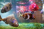 Fish robots swim into the fish tank at the entrance lobby of the Henn-na (Weird) Hotel on March 15, 2017, Chiba, Japan. The hotel is managed by robots who can attend guest in English, Chinese and Japanese language. Every room has a concierge robot ''Tapia'' set to talk or make a request from guests such as turn on or off TV or provides weather forecast and news. Henn-na hotel opens its second branch in Chiba Prefecture, near to Tokyo Disney from March 15, which rooms cost start from 17,000 JPN per night. The first robot hotel opened in 2015 in Nagasaki. (Photo by Rodrigo Reyes Marin/AFLO)
