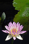 "Waterlily bloom features white sepals, pink petals and pink-tipped yellow anthers characteristic of the ""Madame Ganna Walska"" cultivar, Brachyceras Nymphaea, found at Longwood Gardens, July 2010; vertical image includes unopened bud and green leaves."