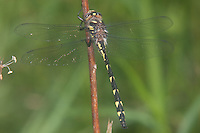 Delta-spotted Spiketail (Cordulegaster diastatops) Dragonfly - Female, Quick Pond, Stillwater Township, Sussex County, New Jersey