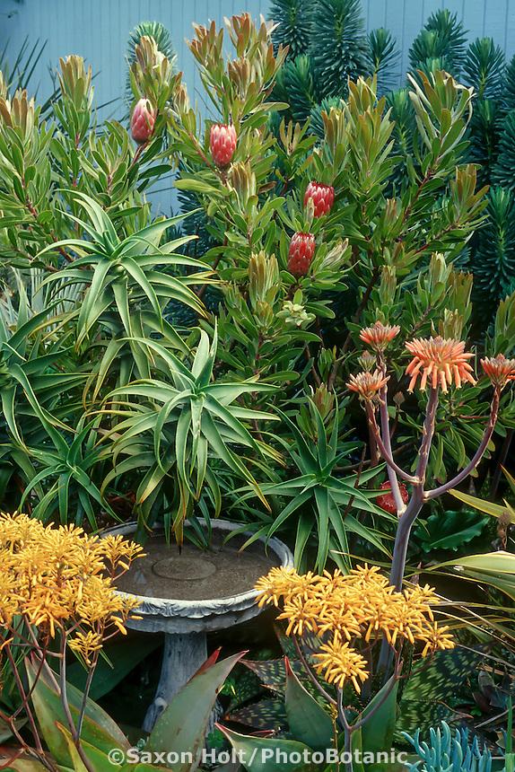 Succulent garden and birdbath with Aloe buhri (yellow); Aloe saponaria (orange) ; Aloe striatula (foliage) and Protea (red).