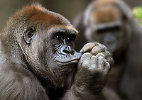 Gorilas, Gorilla gorilla, are the largest of all primates. Plant-eating animals.  Africa.<br />
