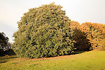Evergreen holm oak tree, quercus ilix, in autumn, Shottisham, Suffolk, England