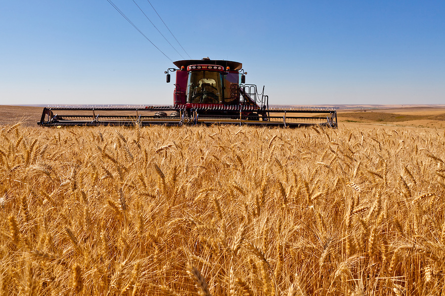 The Case 8120 combine harvests wheat on a warm summer day in the Palouse.
