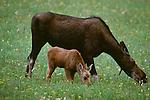 Moose cow and calf, Denali National Park, Alaska