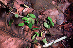 Leaf Cutter Ants, moving leaves on forest floor/track,  Belize