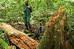 Anti-poaching snare removal team member, Godfrey Nyesiga, photographing stump of illegally cut wood for evidence, Kibale National Park, western Uganda