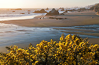 Flowering gorse and beach at Bandon, Oregon.