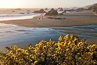 Flowering gorse and beach at Bandon, Oregon.