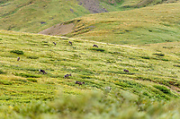 Herd of Caribou graze on tundra at Thorofare pass in Denali National Park, Alaska  Summer<br /> <br /> Photo by Jeff Schultz/SchultzPhoto.com  (C) 2018  ALL RIGHTS RESERVED<br /> <br /> Amazing Views-- Into the wild photo tour 2018