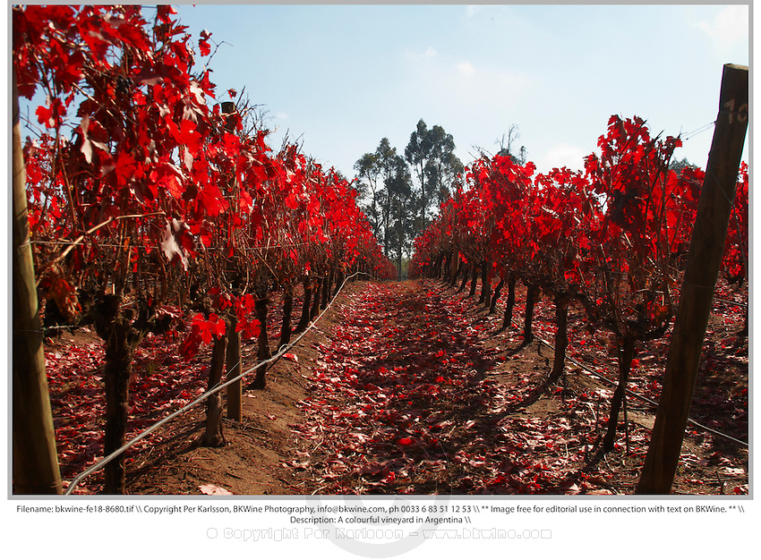 A colourful vineyard in Argentina