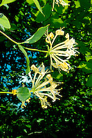 HONEYSUCKLE Lonicera periclymenum (Caprifoliaceae) Height to 5M. Familiar and woody climber that twines clockwise up other shrubs and trees. Grows in woodland, hedgerows and scrub. FLOWERS are 3-5cm long and scented, the corolla trumpet-shaped, 2-lipped and creamy yellow to white; borne in whorled heads (Jun-Aug). FRUITS are red berries that appear in clusters. LEAVES are grey-green, oval and borne in opposite pairs. STATUS-Widespread and common throughout the region.