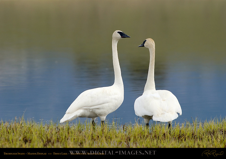 Trumpeter Swans, Mating Display, Trout Lake, Yellowstone National Park, Wyoming