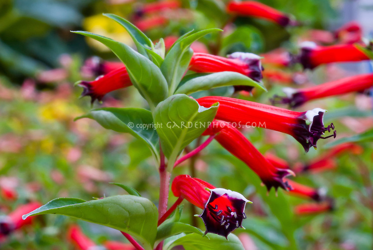 Cuphea 'Dynamite' annual cigar flower, firecracker plant in red and black blooms
