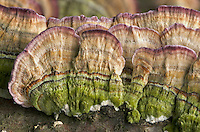 Close-up top view of the upper surface of Violet Toothed Polypore (Trichaptum biforme) mushrooms, Mount Gilead State Park, Ohio, USA.