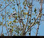 White-Tailed Kites, Sepulveda Wildlife Refuge, Southern California