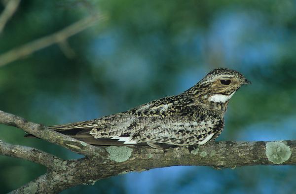 Common Nighthawk, Chordeiles minor, adult on branch, Welder Wildlife Refuge, Sinton, Texas, USA
