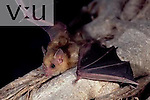 A Lily's Yellow-Shouldered Bat (Sturnira lillium) Alamos, Sonora, Mexico
