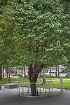 USA, New York, Callery pear (Pyrus calleryana), 9/11 Survivor Tree