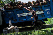Estate worker load up the harvested oil palm fruits on the truck at the Kerasaan palm plantation in Sumatra, Indonesia. Photo: Sanjit Das/Panos