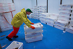 Processing catch from a Dutch fishing vessel on the North Sea