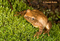 0302-0912  Spring Peeper Frog, Pseudacris crucifer (formerly: Hyla crucifer)  © David Kuhn/Dwight Kuhn Photography