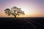 Silhouetted tree at sunrise in field with truck tracks Skagit County Mount Vernon Washington State USA