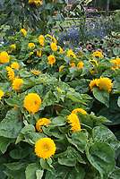 Helianthus Teddy Bear Dwarf sunflowers