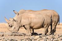 White rhinoceros or square-lipped rhinoceros (Ceratotherium simum) drinking, Ol Pejeta Reserve, Kenya, Africa