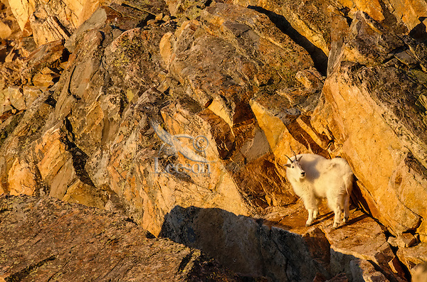 Mountain Goat Billy (Oreamnos americanus) in the Beartooth Mountains of Southern Montana/Northern Wyoming.  Sept.  Early morning light.