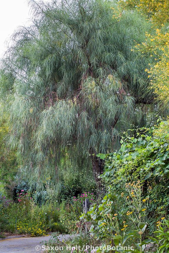 Acacia stenophylla, Shoestring acacia, evergreen tree in Yanker-Hansen garden