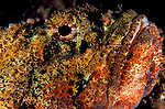 Facial view of a spotted scorpionfish: Scorpaena plumieri