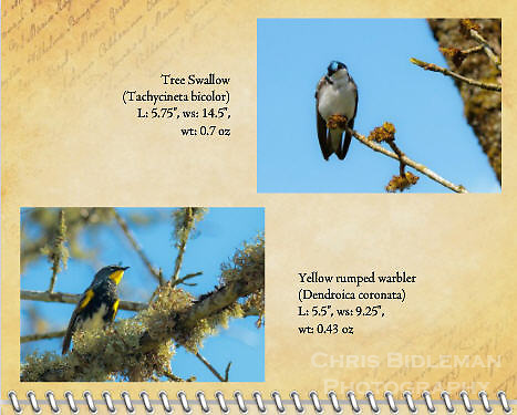 "June of the 2012 Birds of a Feather Calendar.  These two photos are called ""Yellow-rumped warbler on branch"" and ""Tree swallow being cute"" that shows a Tree Swallow (Tachycineta bicolor) sits on a thin branch with head tilted looking at viewer with a curious look against a blue sky background."