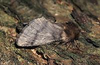 Eichen-Prozessionsspinner, Weibchen, Prozessionsspinner, Eichenprozessionsspinner, Thaumetopoea processionea, oak processionary moth