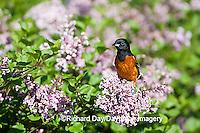01618-010.11 Orchard Oriole (Icterus spurius) male in Lilac bush,  Marion Co. IL