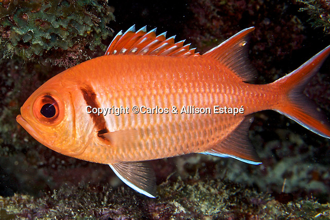 Myripristis jacobus, Blackbar soldierfish, Florida Keys