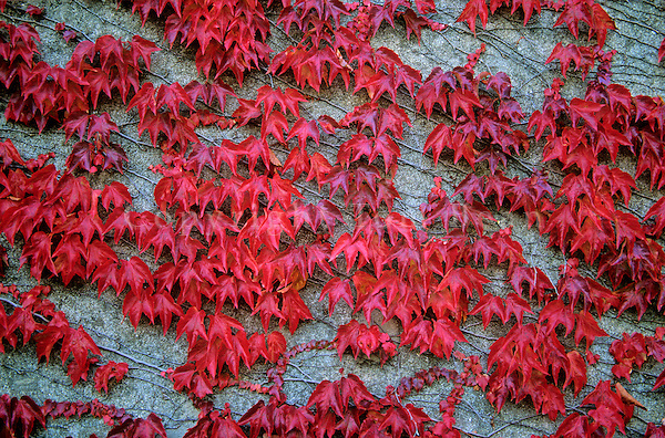 Vine with autumn leaves growing on wall in the village of Meursault, Cotes de Beaune, Wine Region, Meursault, Burgundy, France, AGPix_0381..