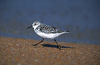 Sanderling running on sandy shorline, Florida