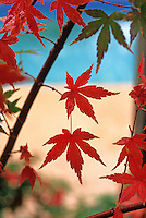 Acer palmatum (Japanese Maple) leaves in fall color