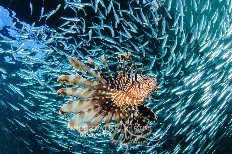 Lionfish, Pterois volitans, hunts schooling baitfish under the Arborek jetty, Dampier Strait, Raja Ampat, Indonesia, Pacific Ocean