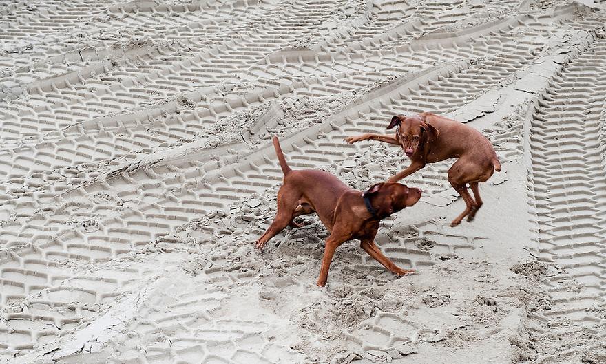 Nederland, Spijkenisse, 20 jan 2012.Spelende honden op een bouwterrein..Foto (c): Michiel Wijnbergh